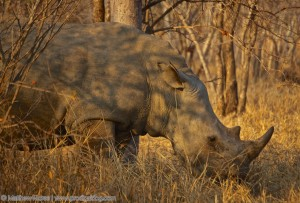 the_prodigal_dog_the_big_five-rhino