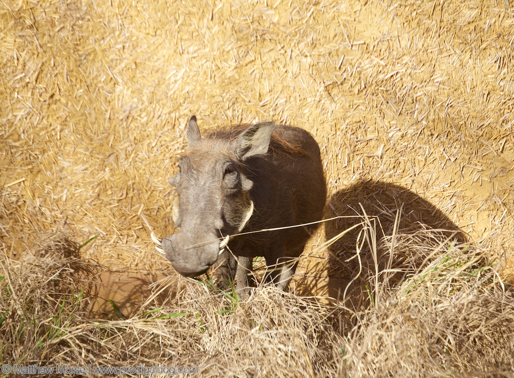 Finding Your Big Five Warthog